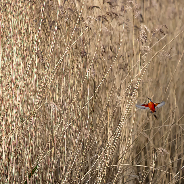 """Kingfisher in Reeds."" stock image"