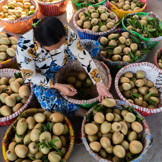 """Harvesting sapodilla plums"" stock image"