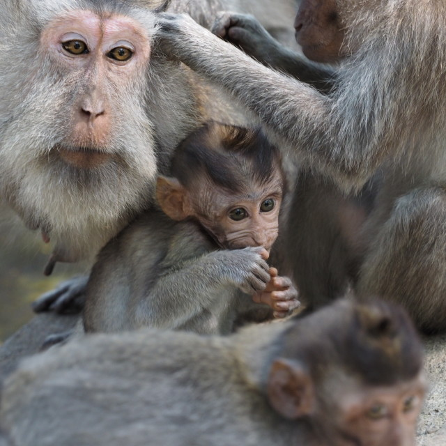 """A family of monkeys"" stock image"