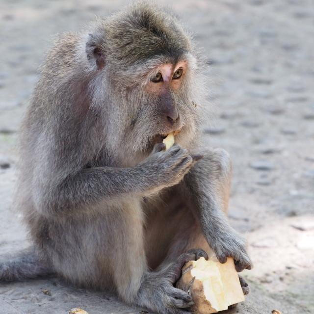 """""""Papa monkey"""" stock image"""