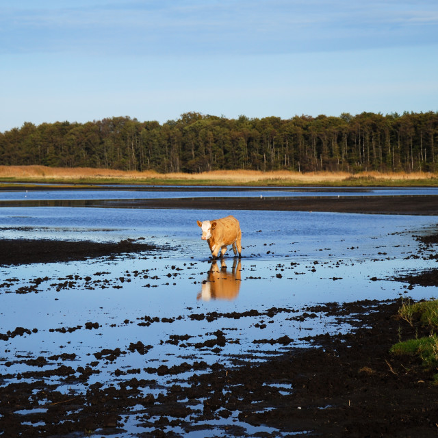 """""""Cow walks in a muddy water"""" stock image"""