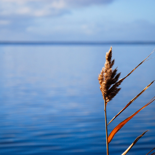 """Colorful solitude reed plant"" stock image"
