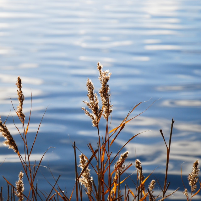 """""""Reeds by water reflections"""" stock image"""