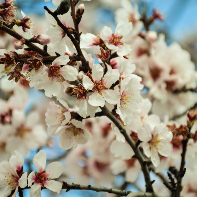 """""""Blooming almond tree"""" stock image"""