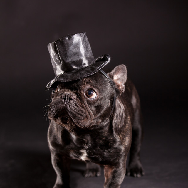 """elegant french bulldog"" stock image"