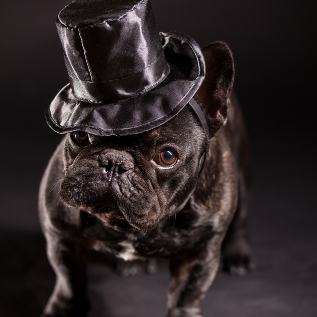 """elegant french bulldog"" stock image"