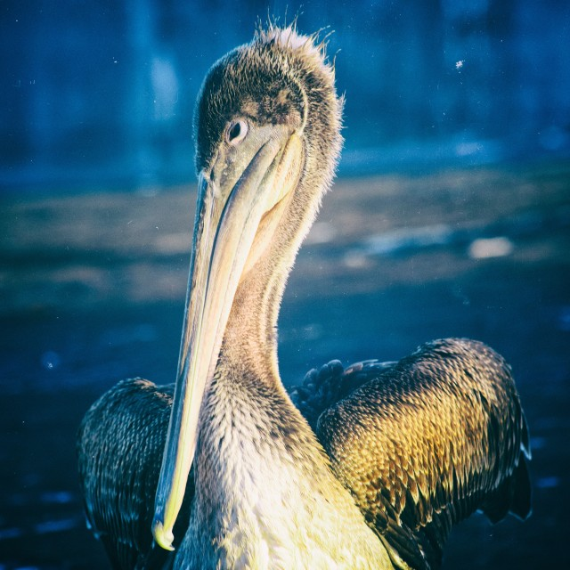 """Brown Pelican Portrait"" stock image"