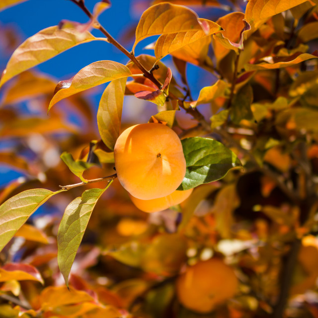 """Ripe persimmon fruit on the tree"" stock image"