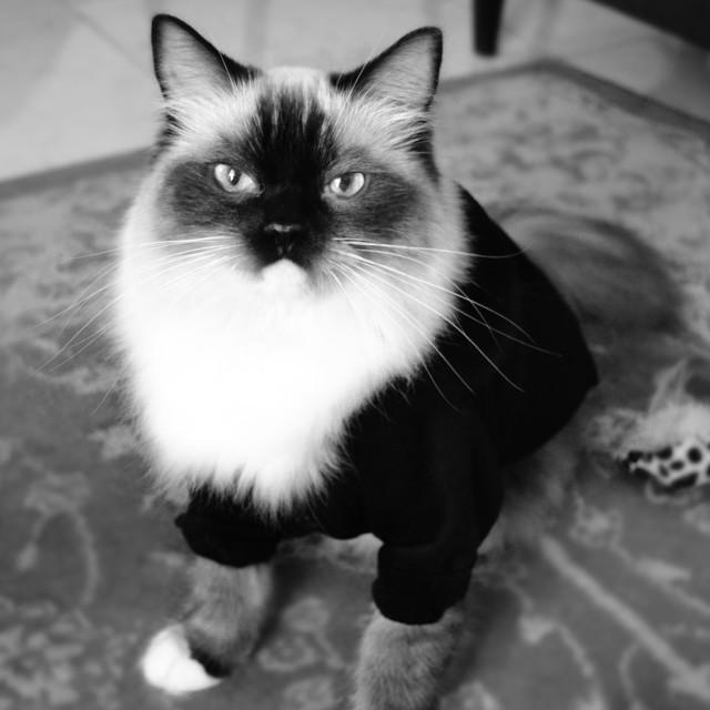 """Ragdoll cat portrait in a jacket"" stock image"