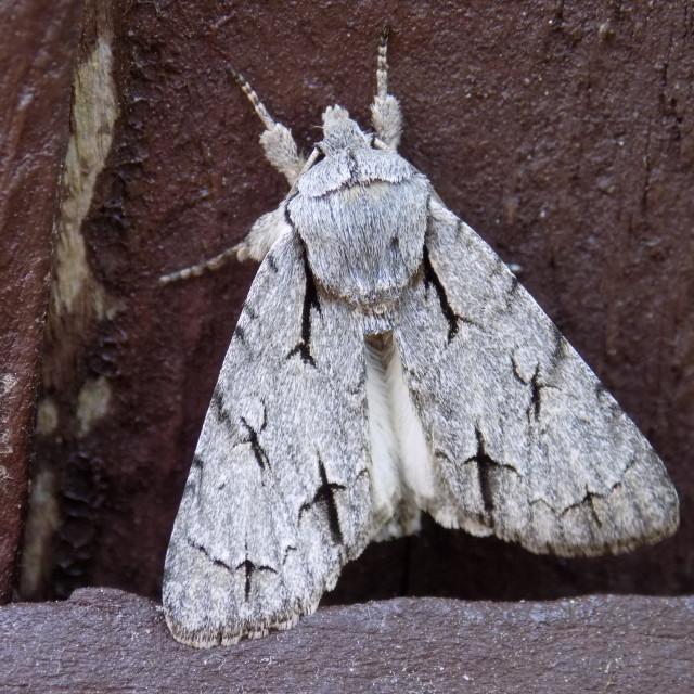 """Grey Dagger Moth"" stock image"