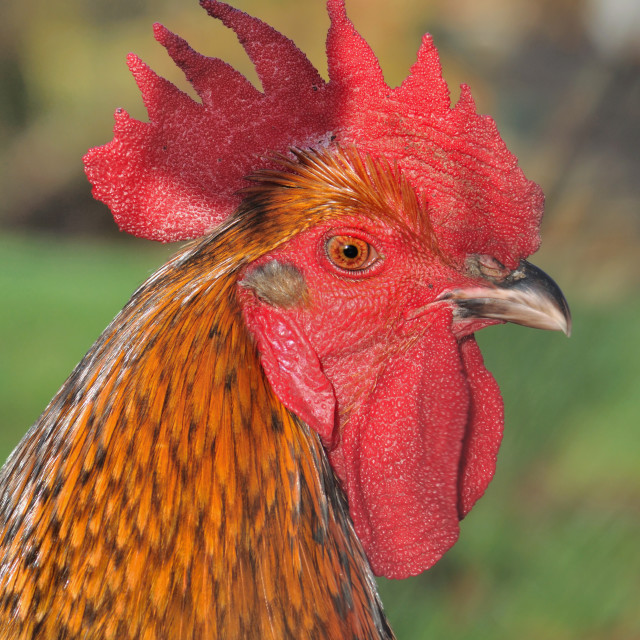 """beautiful rooster"" stock image"