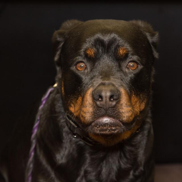"""Rottweiller dog"" stock image"
