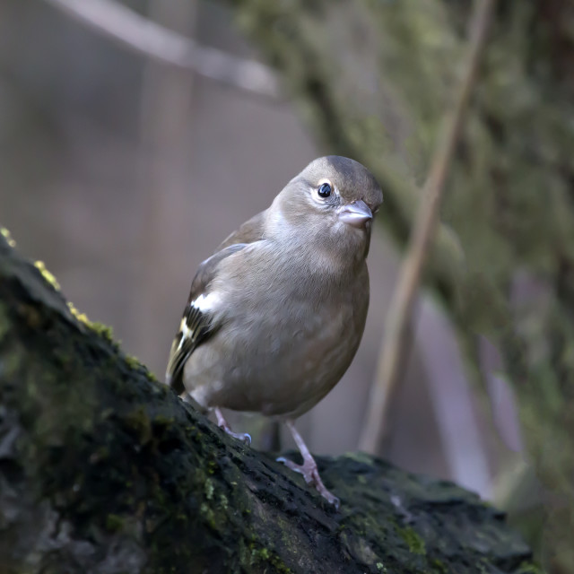 """""""Cetti's Warbler."""" stock image"""