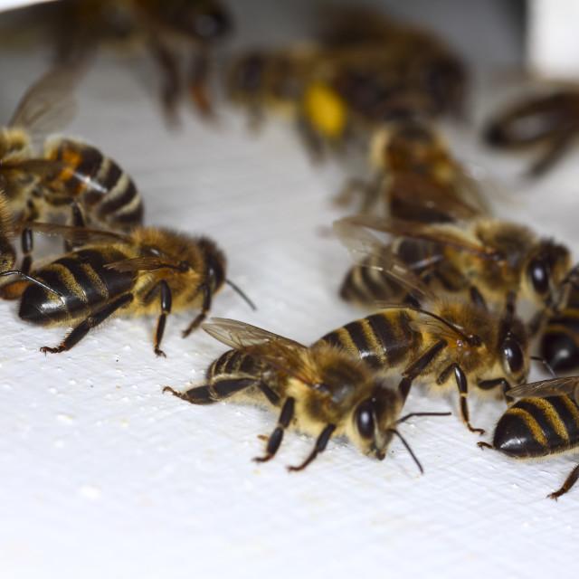 """Honey bees"" stock image"