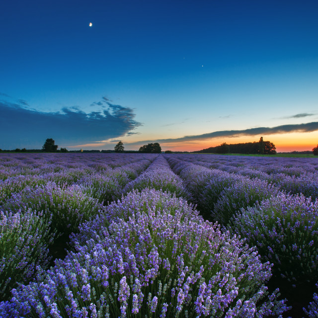 """Beautiful landscape of lavender fields at sunset with dramatic s"" stock image"