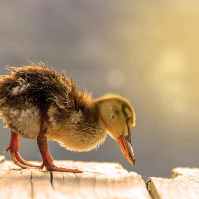 """cute duckling in lake"" stock image"