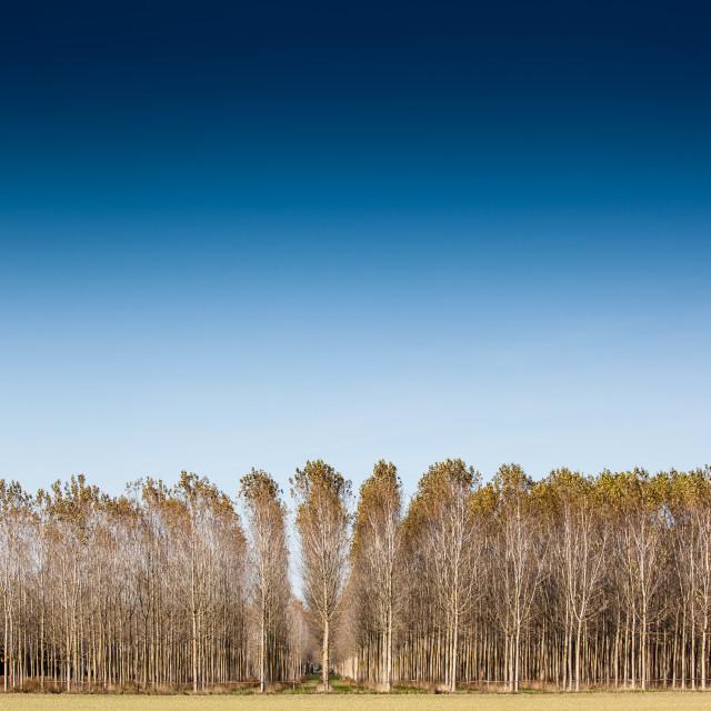 """trunks birch trees"" stock image"