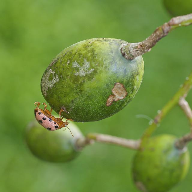 """""""beetle on fruit"""" stock image"""