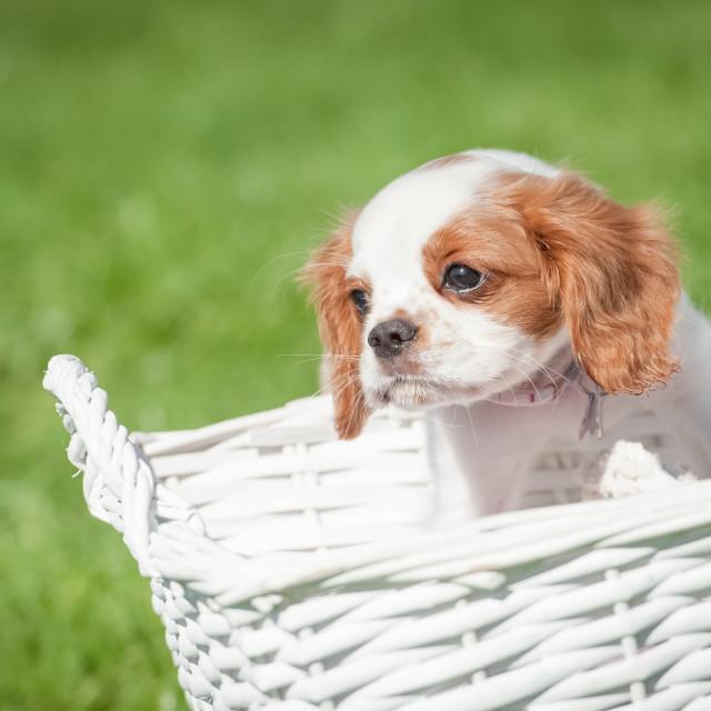 """spaniel in a basket"" stock image"
