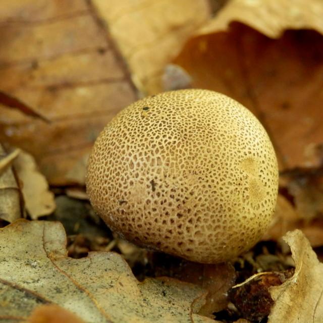 """""""Scleroderma areolatum"""" stock image"""