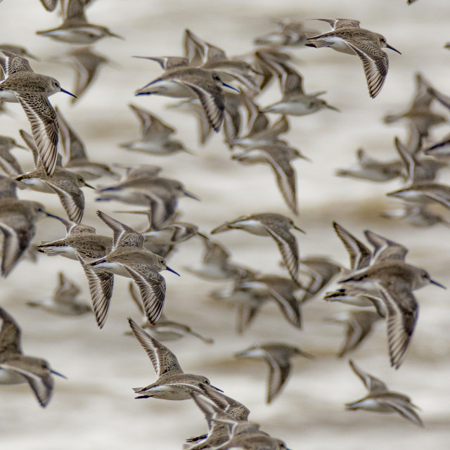 """Flock of Dunlin"" stock image"