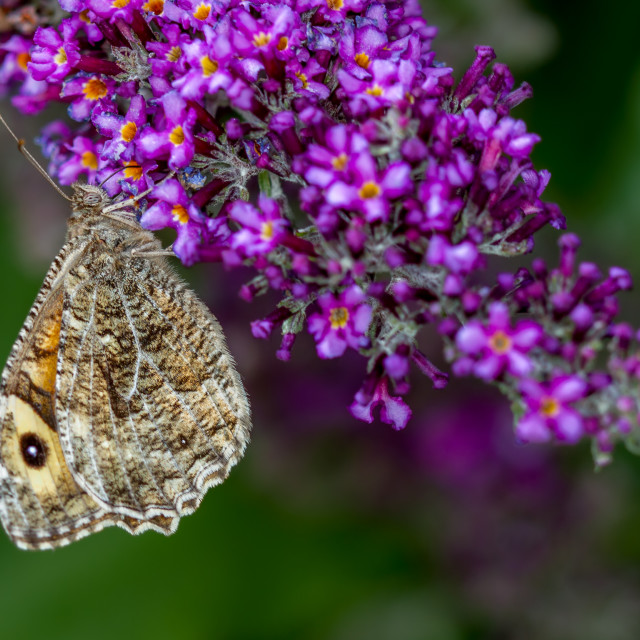"""Grayling (Hipparchia semele)"" stock image"