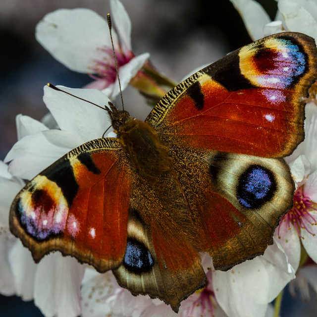 """""""Peacock butterfly on cherry blossom."""" stock image"""