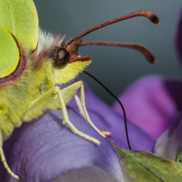 """Brimstone butterfly"" stock image"