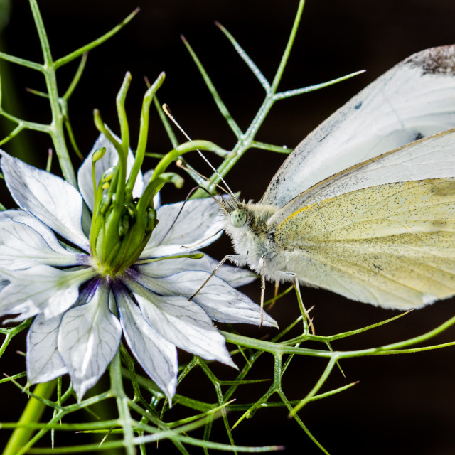 """Small White butterfly"" stock image"