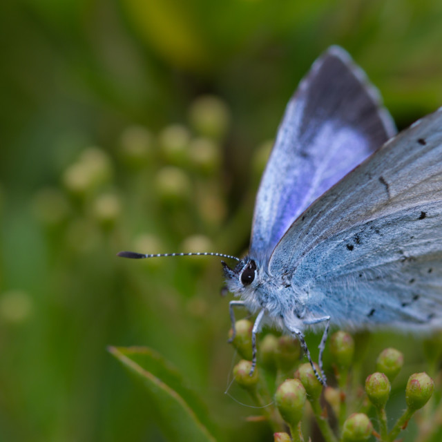 """Holly Blue (Celastrina argiolus)"" stock image"