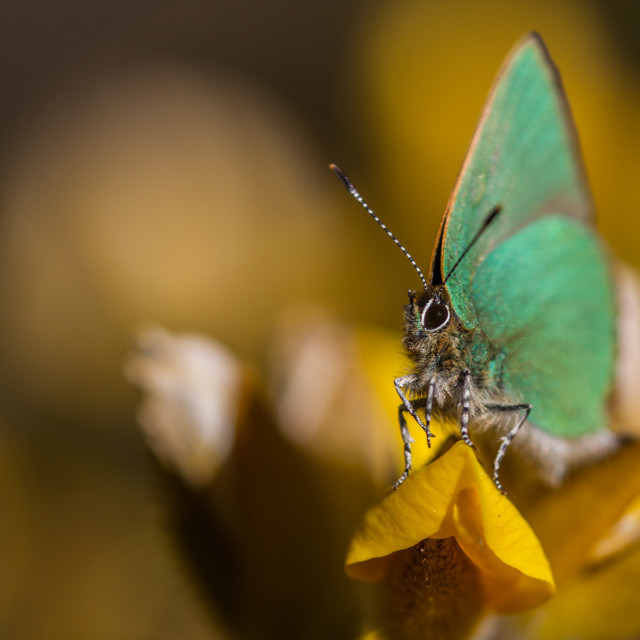 """Green Hairstreak (Callophrys rubi)"" stock image"
