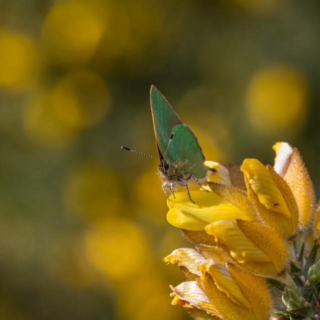 """""""Green Hairstreak (Callophrys rubi)"""" stock image"""