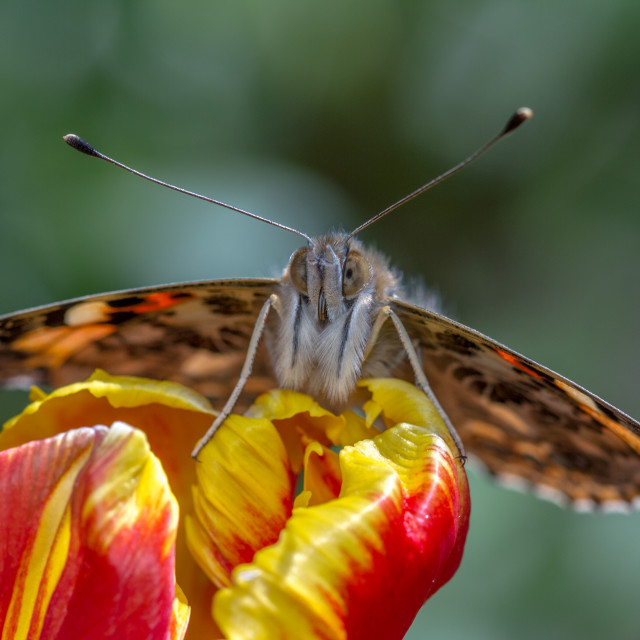 """Painted Lady (Vanessa Cardui)"" stock image"