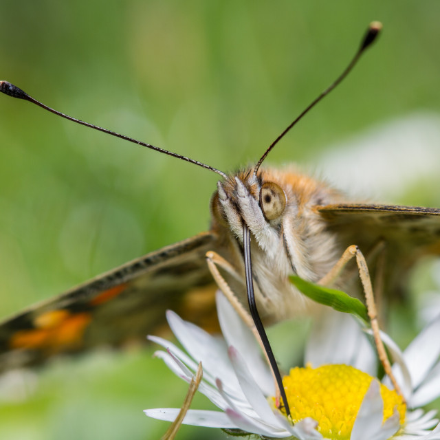 """""""Painted Lady (Vanessa Cardui)"""" stock image"""