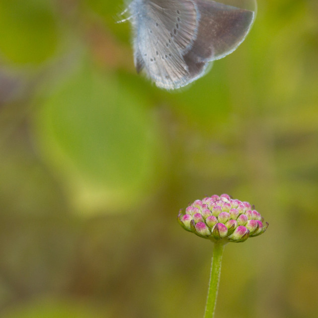 """Small Blue (Cupido minimus) in flight"" stock image"