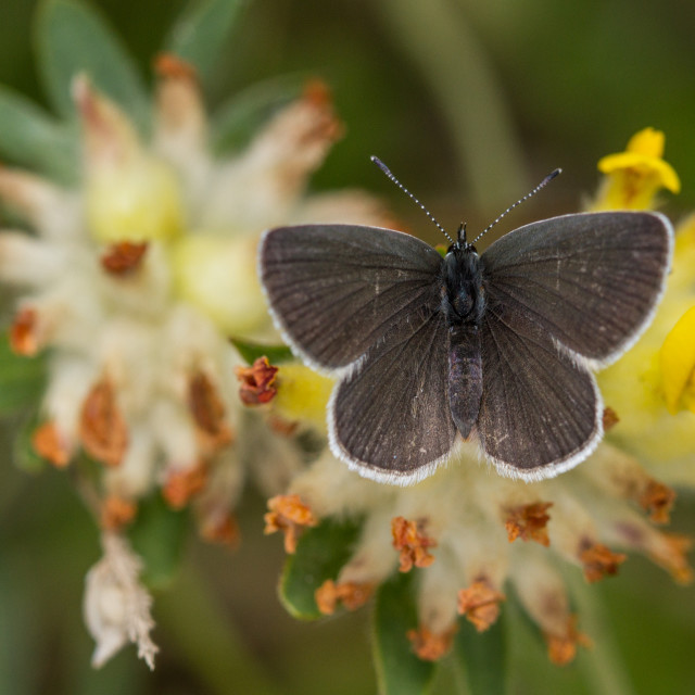 """Small Blue (Cupido minimus)"" stock image"