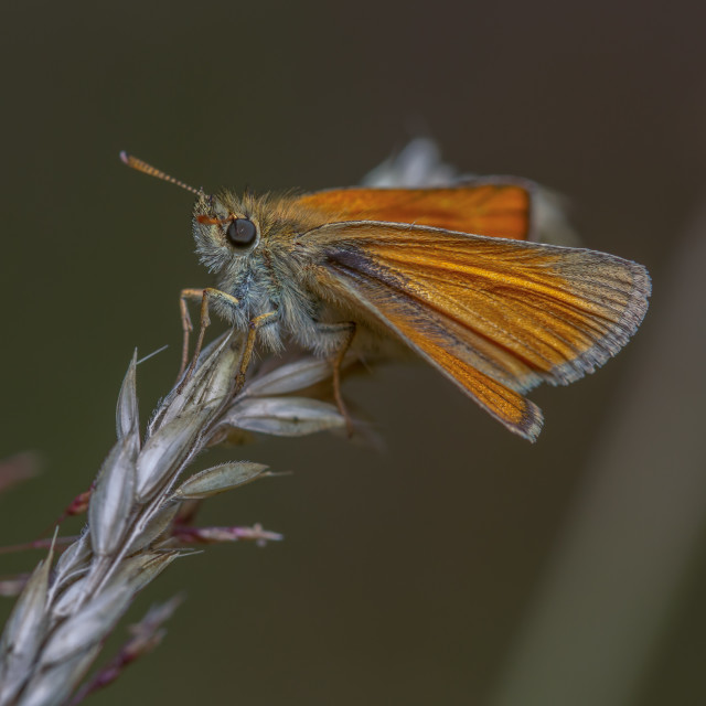 """Small Skipper (Thymelicus sylvestris)"" stock image"