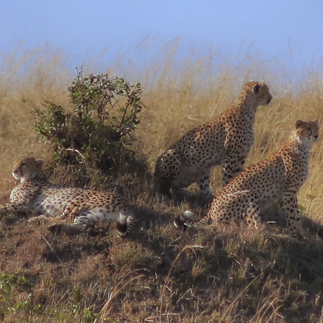 """Cheetahs..."" stock image"