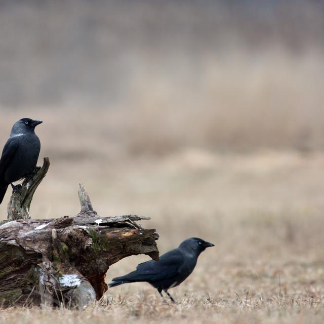 """Two Western Jackdaw (Corvus monedula) in winter on a meadow"" stock image"