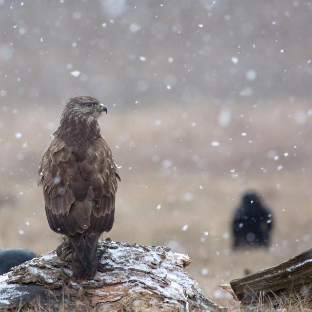 """Common buzzard (Buteo buteo) in a snowstorm in the meadow"" stock image"