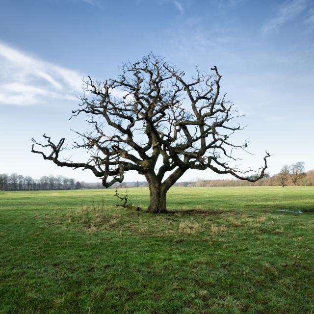 """""""Coneysthorpe Oak Tree"""" stock image"""