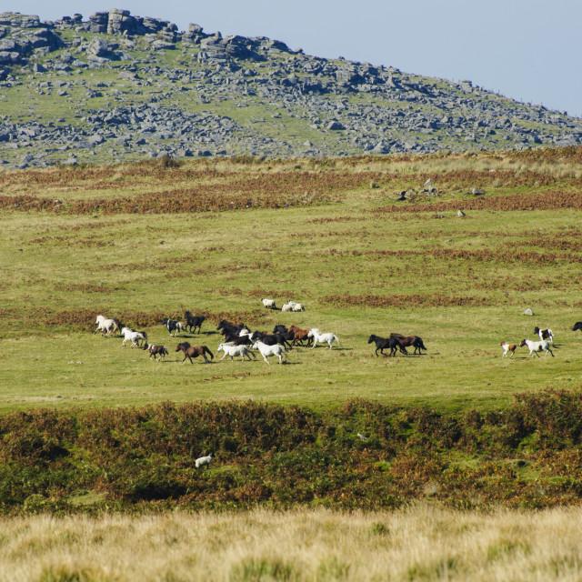 """Dartmoor pony drift"" stock image"