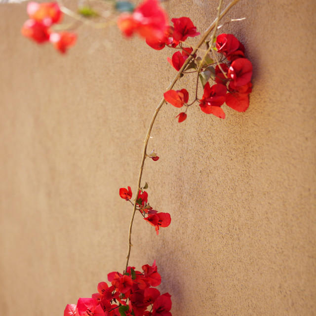 """Red flowers on a wall"" stock image"