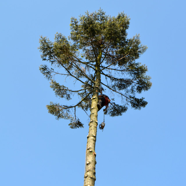 """""""Lumberjack High Up in the Tree 0302"""" stock image"""