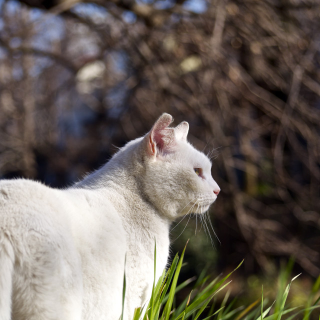 """White cat is staring at something"" stock image"