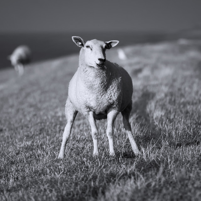 """Sheep on Dutch Dyke"" stock image"