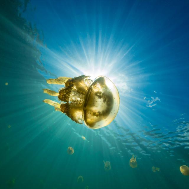 """Jellyfish in the sun"" stock image"