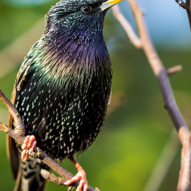 """colours of the starling"" stock image"