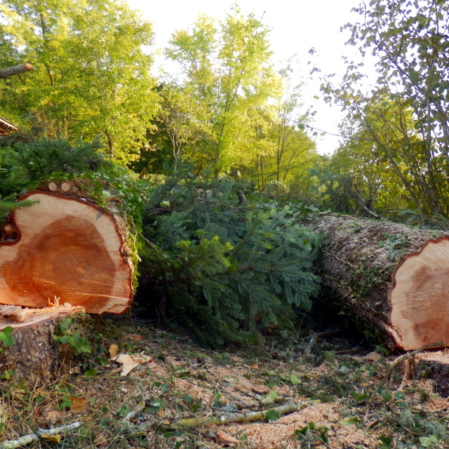 """Felled European Spruce Trees"" stock image"
