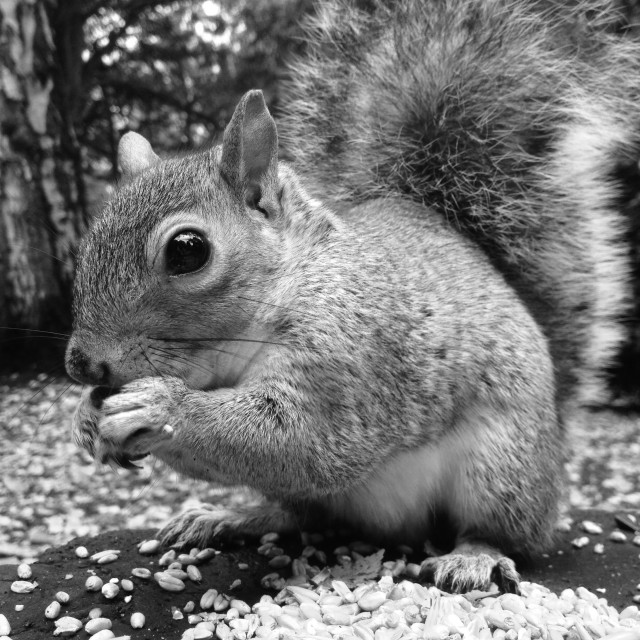 """Squirrel eating nuts"" stock image"